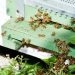 api ischia